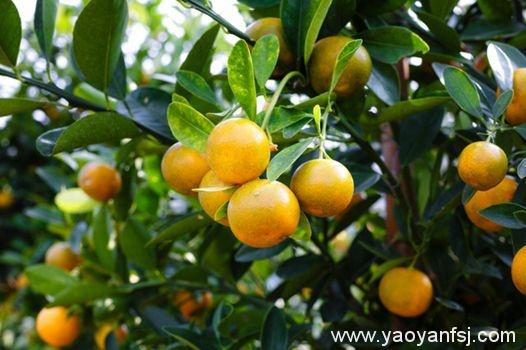 柑橘肉吃出幼虫损伤心血管?